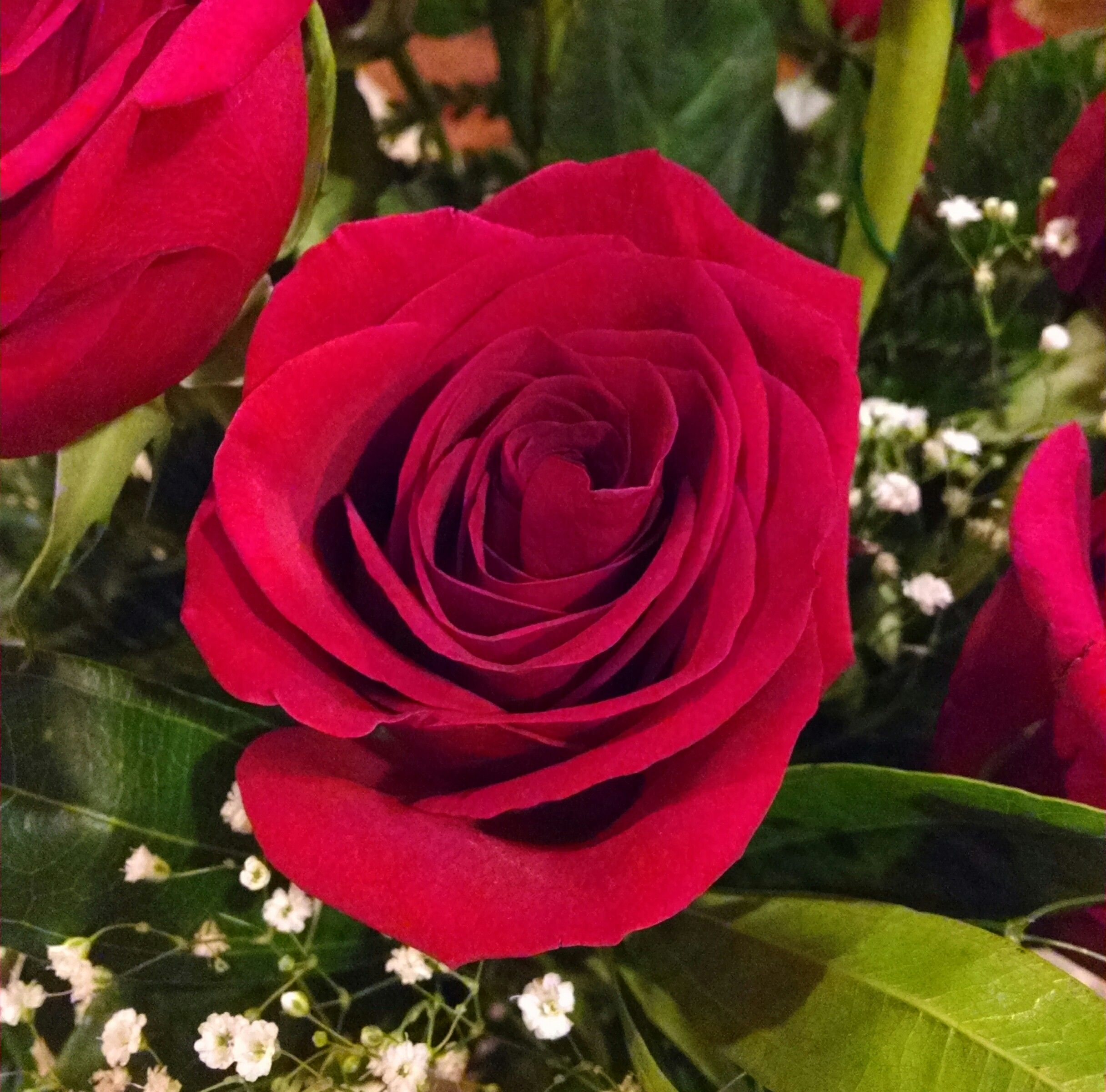 The June Birth Flower is the Rose meaning passionate love and beauty.