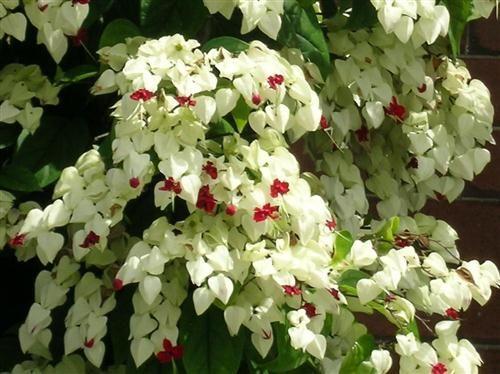 Lágrimas de Cristo (Nome Popular) Clerodendrum Thomsonae (Nome Científico)
