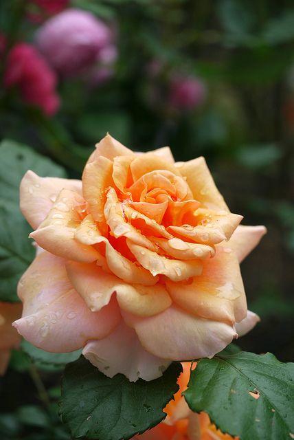 Rose 2011 by Yorkey, via Flickr