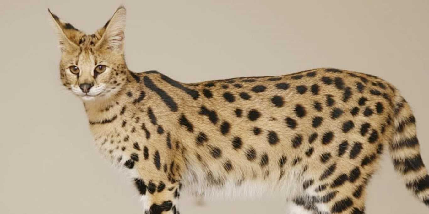 Savannah Cat Savannahcat Bestcatbreeds Catbreeds Catbreedswithpictures Cat Breeds With Pictures Savannah Cat African Wild Cat