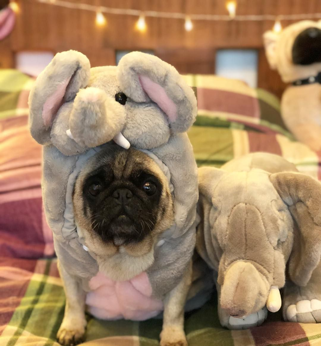 If You Live For Pugs You Should Already Be Following Bubblebecca