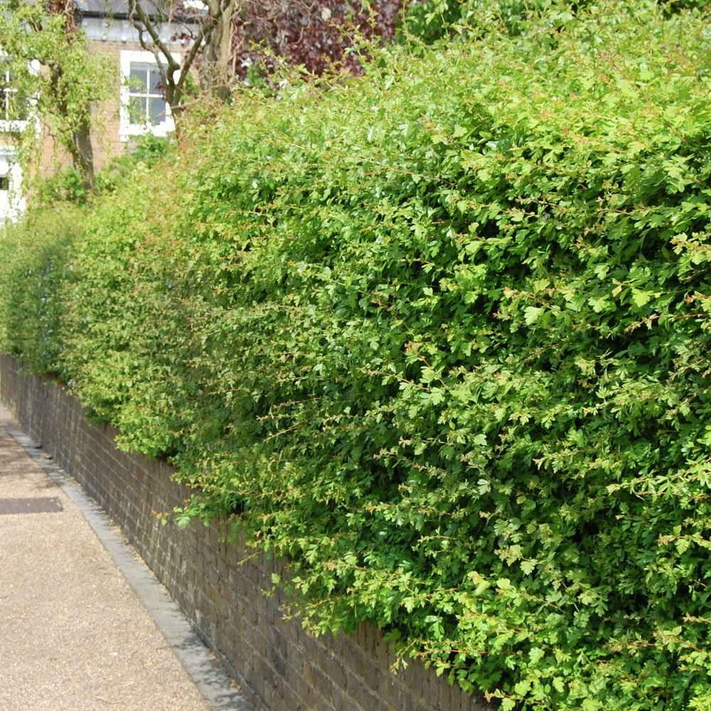 Hawthorn Hedge Plants Crataegus Monogyna Hedging