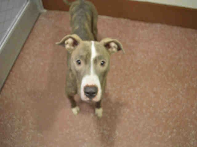 American Pit Bull Terrier Dog For Adoption In Louisville Ky Adn