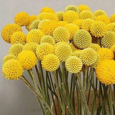Heirloom 400 Seeds Craspedia Globosa Drumstick Perennial Billy Buttons Garden Yellow Flower Bulk Seeds B1013 1 79 Flores Exoticas Flores Raras Flores Bonitas