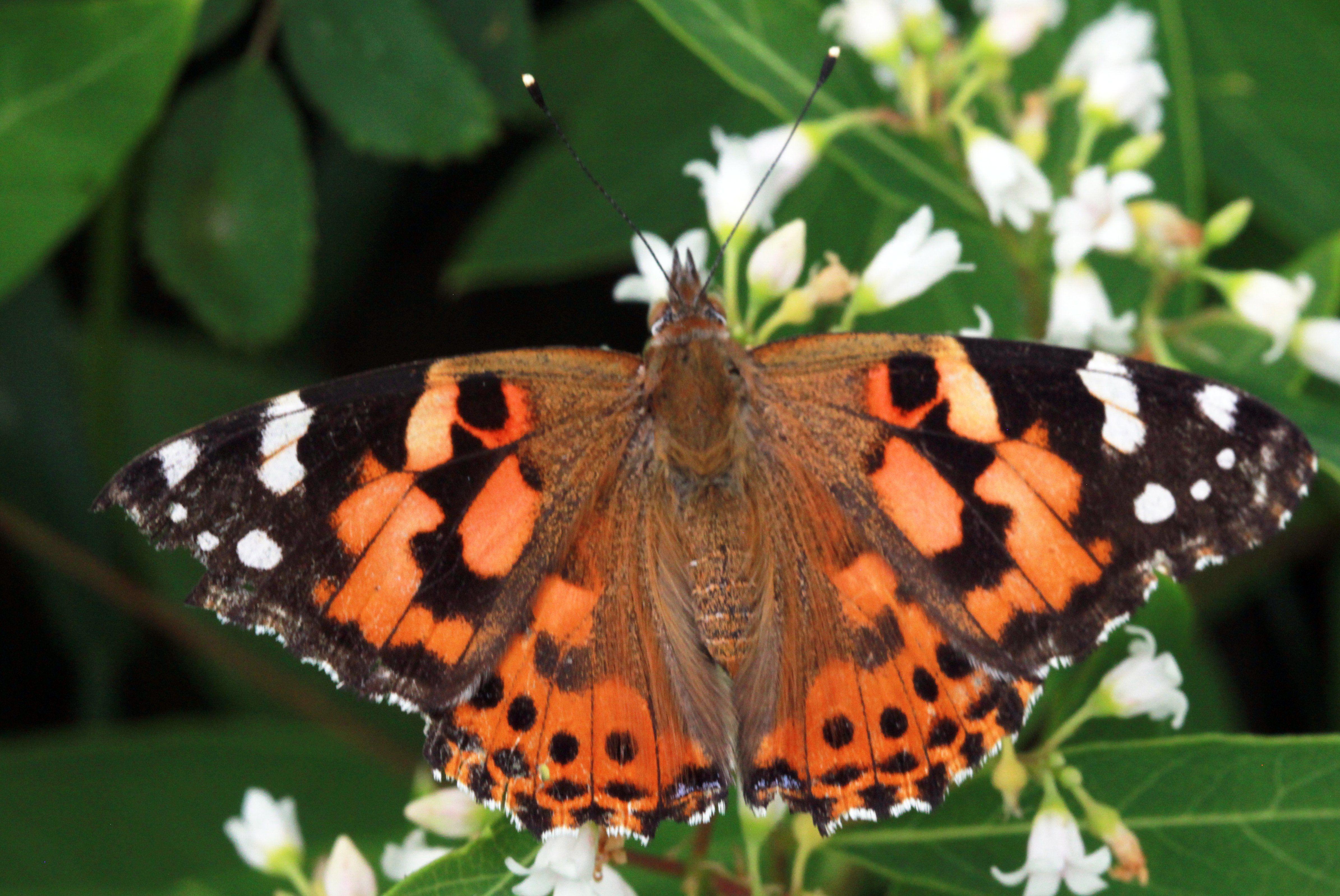 Live painted lady butterflies 50 per dozen the