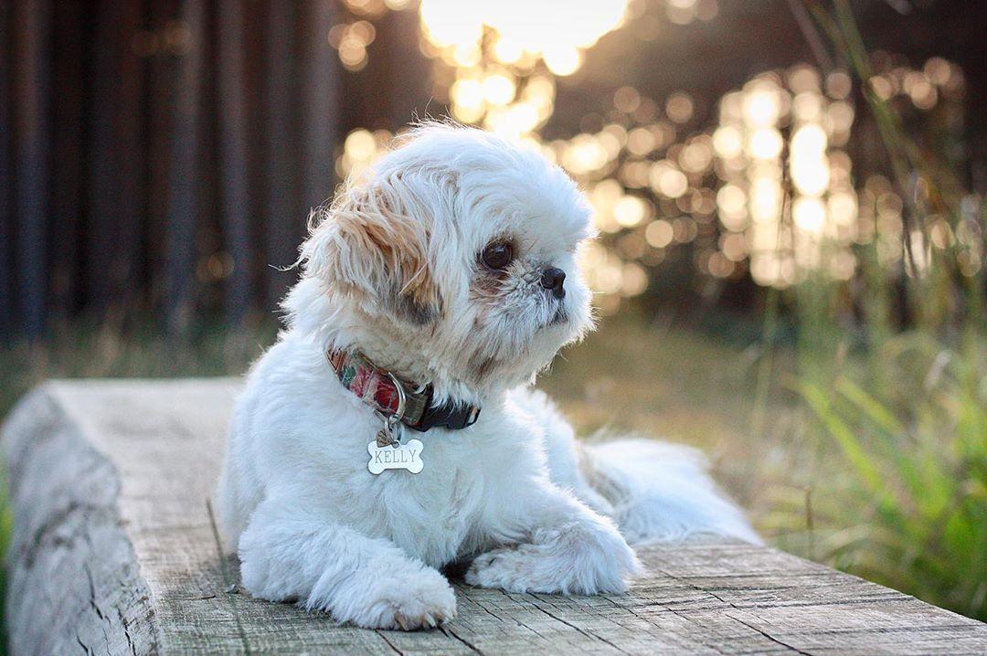 Dog Dogs Dogphotography Dogsarethebest Shihtzu
