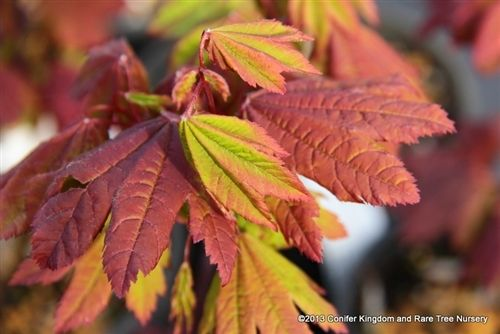 Acer Circinatum Burgundy Jewel Vine Maple Japanese Maples
