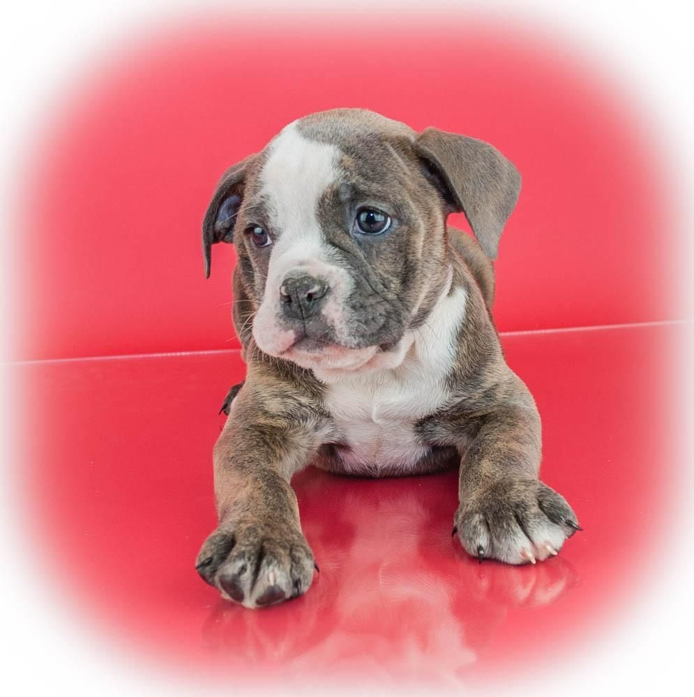 Dory Female Olde English Bulldog (Full Price 1400.00