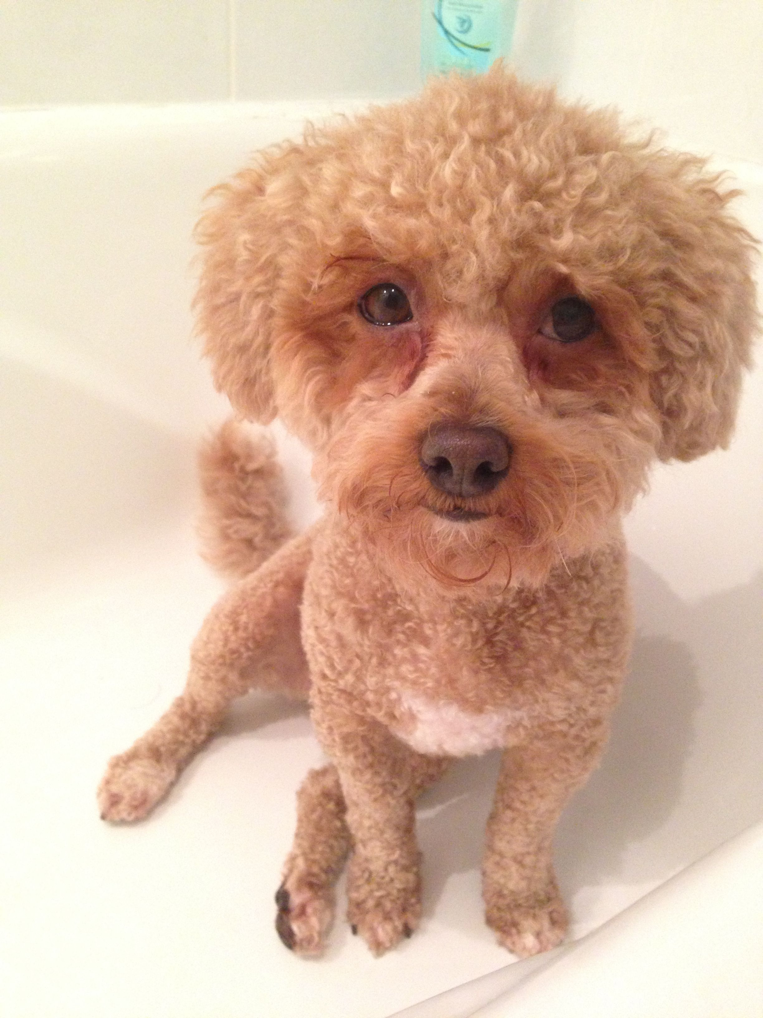 She Loves The Bath Bichon Poodle Cross Poodle Puppy Love Teddy
