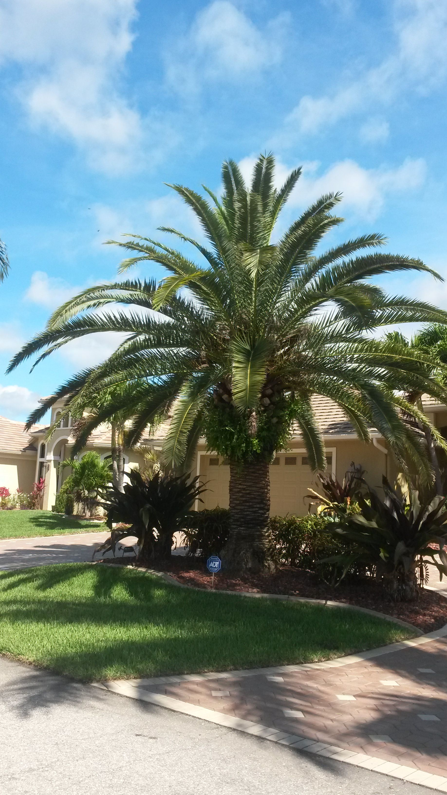 Another palm tree in Florida | Backyard landscaping ... on Backyard Landscaping Ideas With Palm Trees id=75151