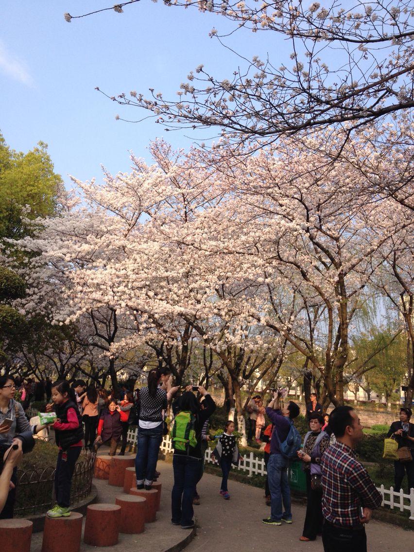 Sakura in NingBo