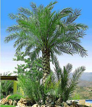 Chilenische Honigpalme 1 Pflanze Winterharte Palmen Pflanzen Mediteraner Garten