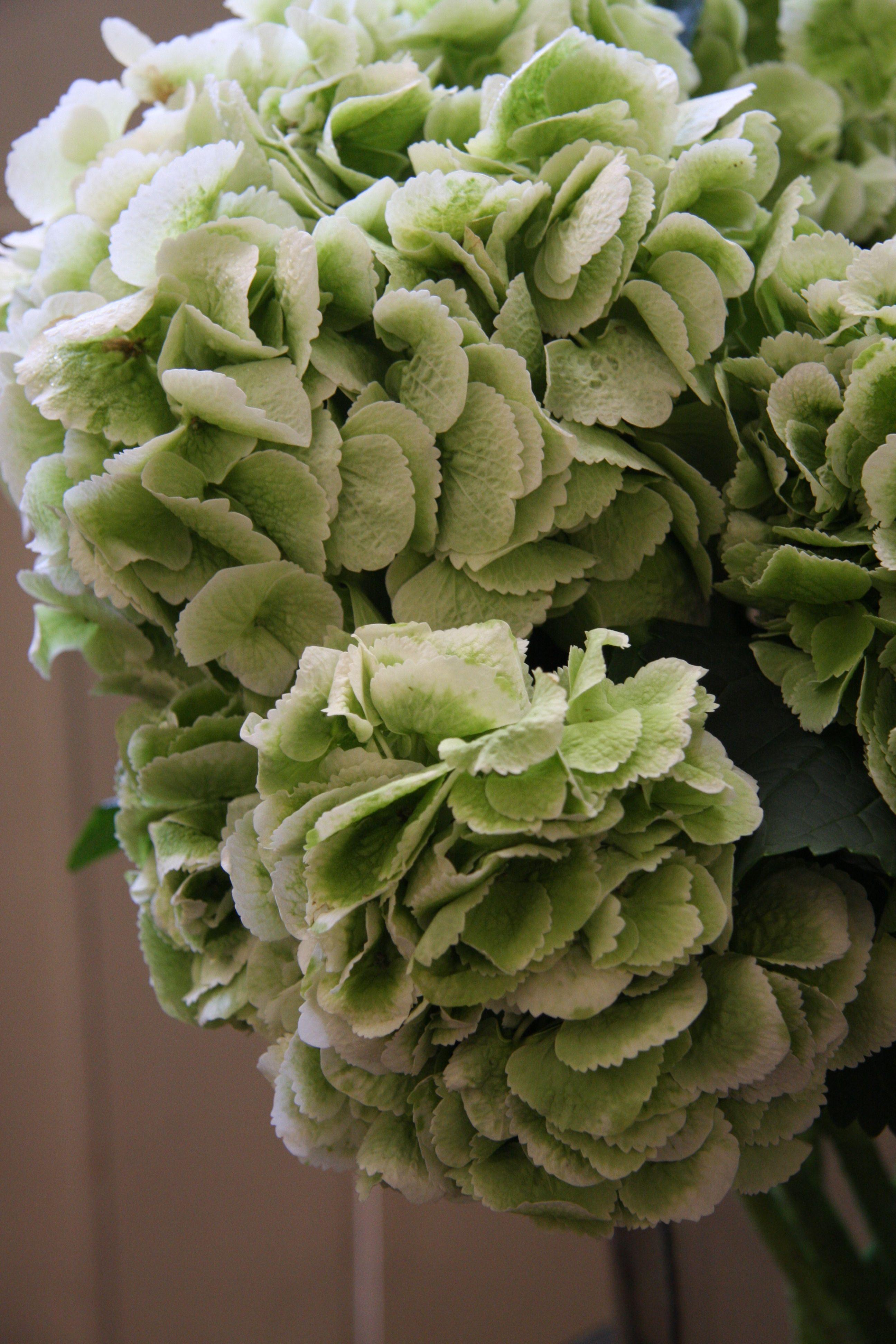 Hydrangea Snowball Classic Light Green Pflanzen Bauernhortensie Sukkulenten