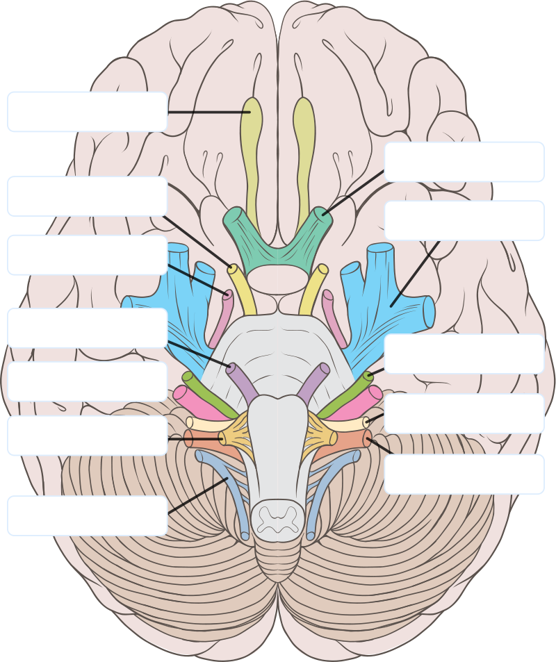1000+ images about anatomy on Pinterest | Cranial Nerves, Circle ...
