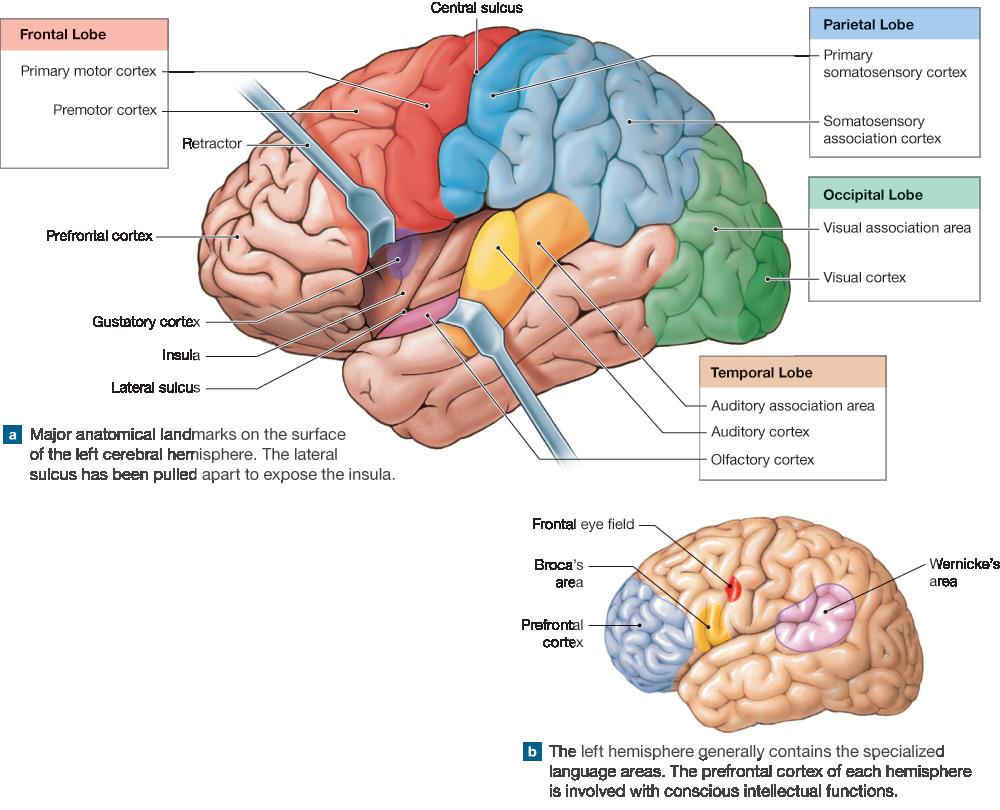 14.9: The Cerebrum Contains Motor, Sensory, And
