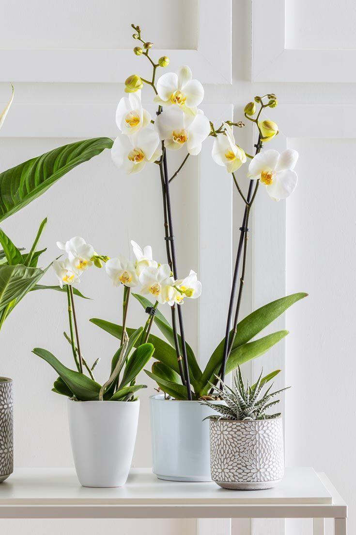 Magische Orchideen für zu Hause - # Ihre # für # Orchideen # magische #Z #orchideenpflege