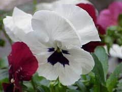 Viola X Wittrockiana Pansy Heart Perennial Vegetable Young Leaves And Flower Buds Eaten Raw Or Cooked Garnish Her Leafy Vegetables And Herbs Plants Flowers Pansies