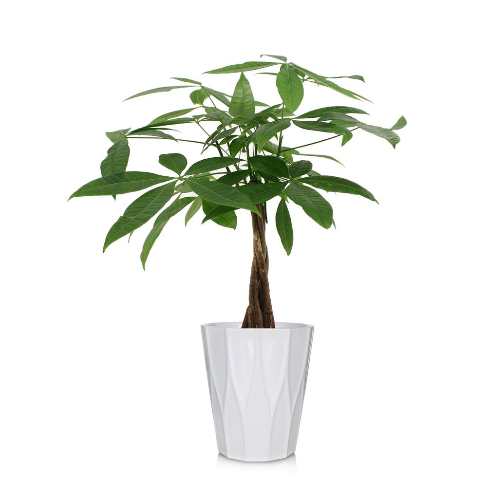 Just Add Ice Green 5 In Money Tree Plant In Ceramic Pot 262768 The Home Depot Money Tree Plant Trees To Plant Money Trees