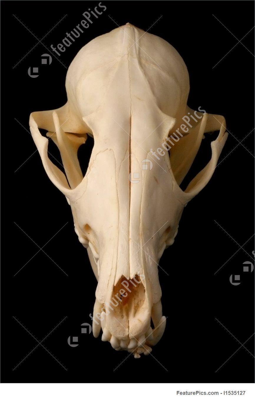 Pin by Uuu Kkk on Canine skulls | Pinterest