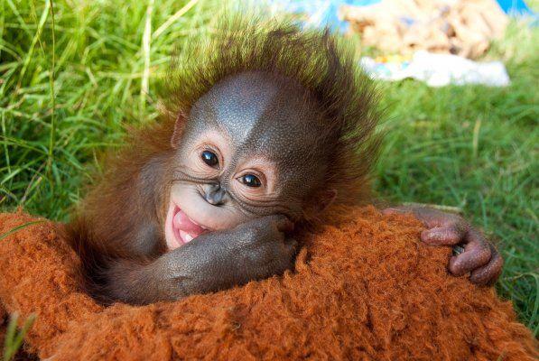 Surrogate Mom Adopts Baby Orangutan At Houston Zoo Houston Zoo