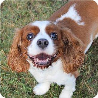 3 25 15 Dallas Tx Cavalier King Charles Spaniel Mix Meet Rusty A Dog For Adoption Http Cavalier King Charles Cavalier King Charles Spaniel Dog Adoption