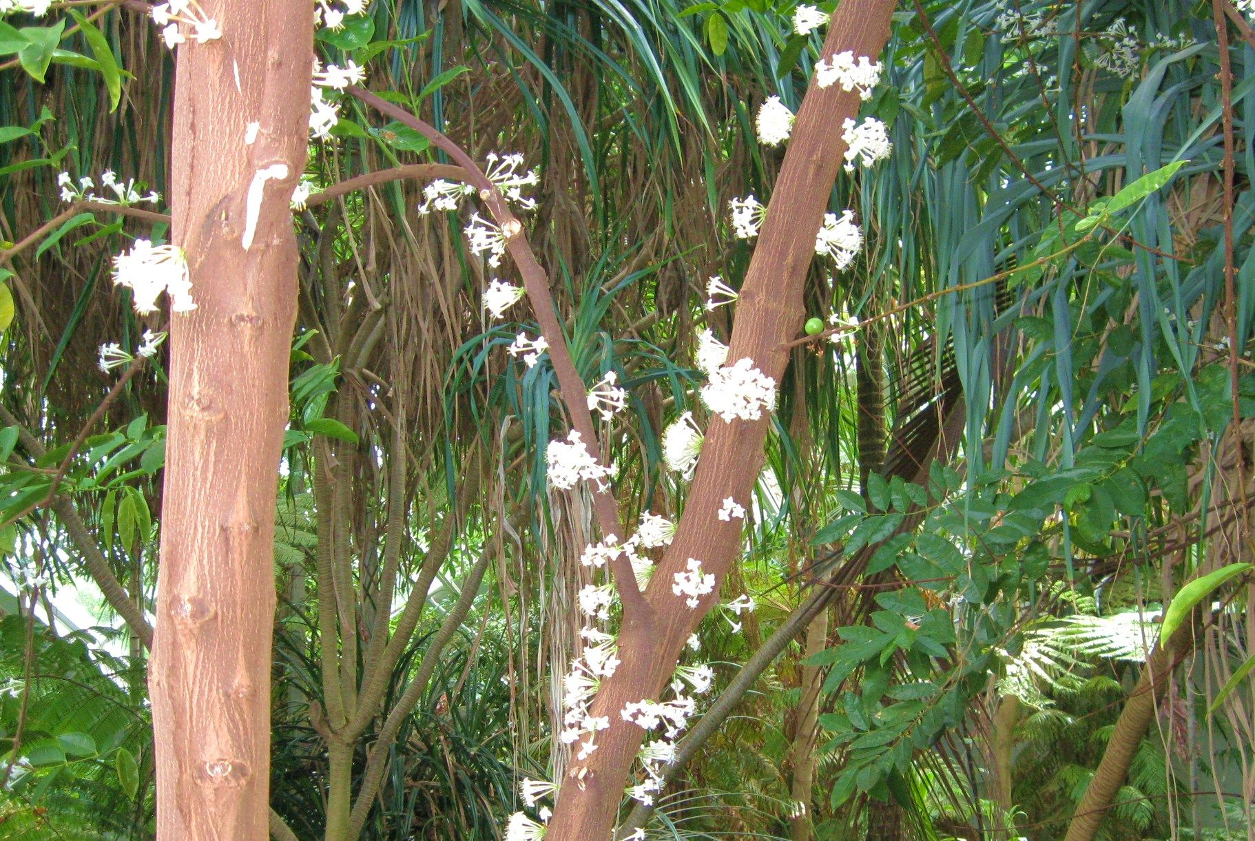 Phaleria Clerodendron Interesting I Pinterest Plants And Flowers