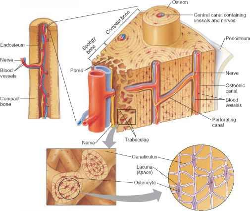 Microscopic Structure Compact Bone | Anatomy and Physiology ...