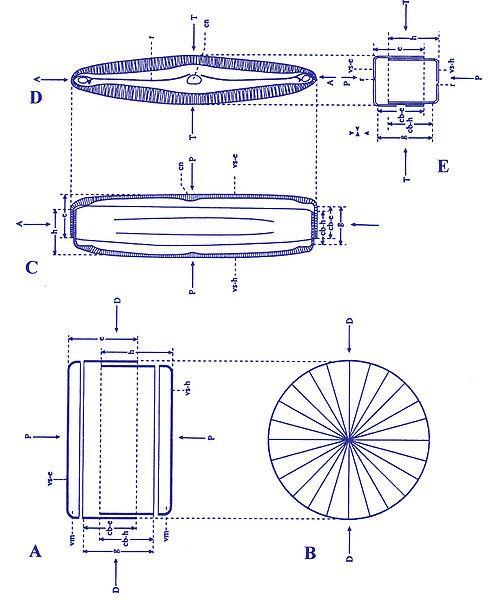 Schematic Diatom Diagram In 2020 Diatom Glass House Single Celled