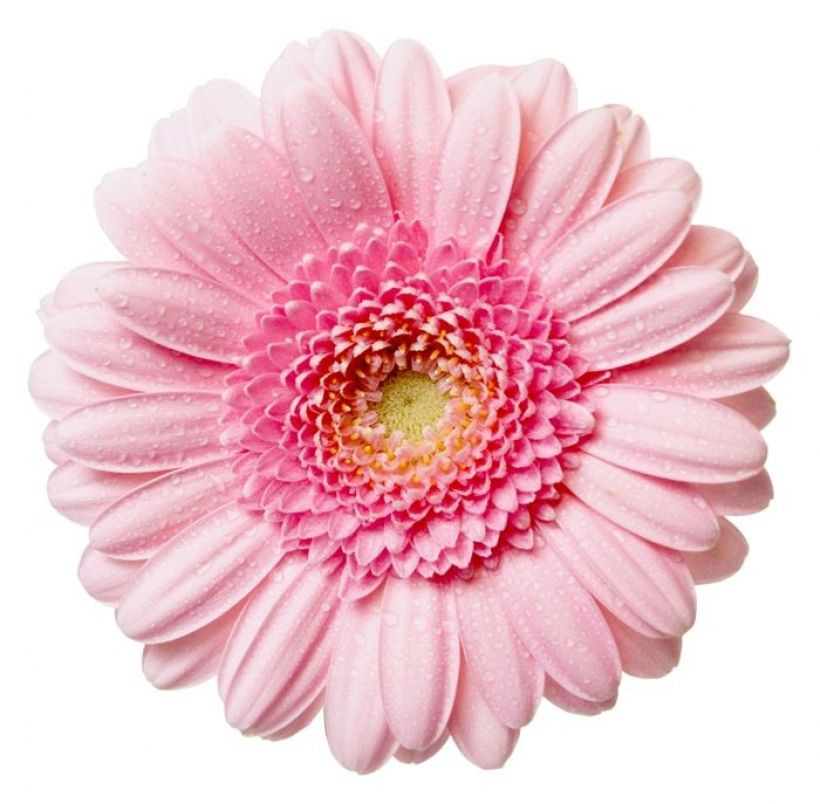 Flowers Png Free High Resolution Graphics And Clip Art Png Pink Gerbera Gerbera Daisy Rose Flower Png