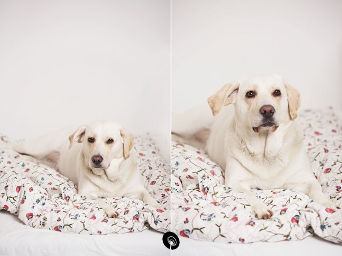 Labradors are not really my type (I guess) but this one is just adorable!! Dandelion Fotografie