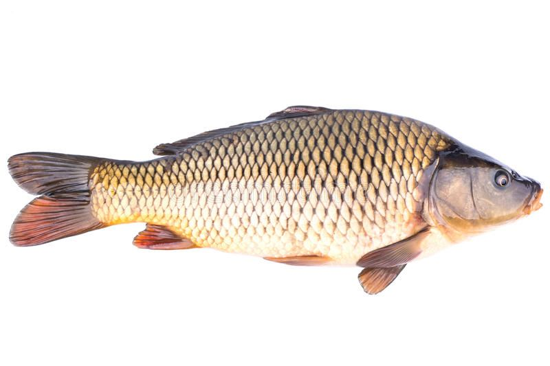 Fish Carp Big Live Fish Carp On A White Background Sponsored Big Carp Fish Live Background Ad Fish Fish Sketch Fish Wallpaper
