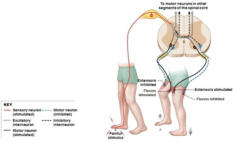 Reflexes: The Crossed Extensor Reflex | Human Anatomy and Physiology ...