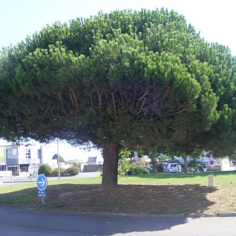 Pinus pinea pin parasol pin pignon jardins for Portent un parasol dans les jardins