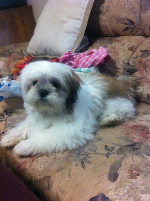 Female Maltese Xshih Tzu Puppy Non Shedding Hawaii Puppies