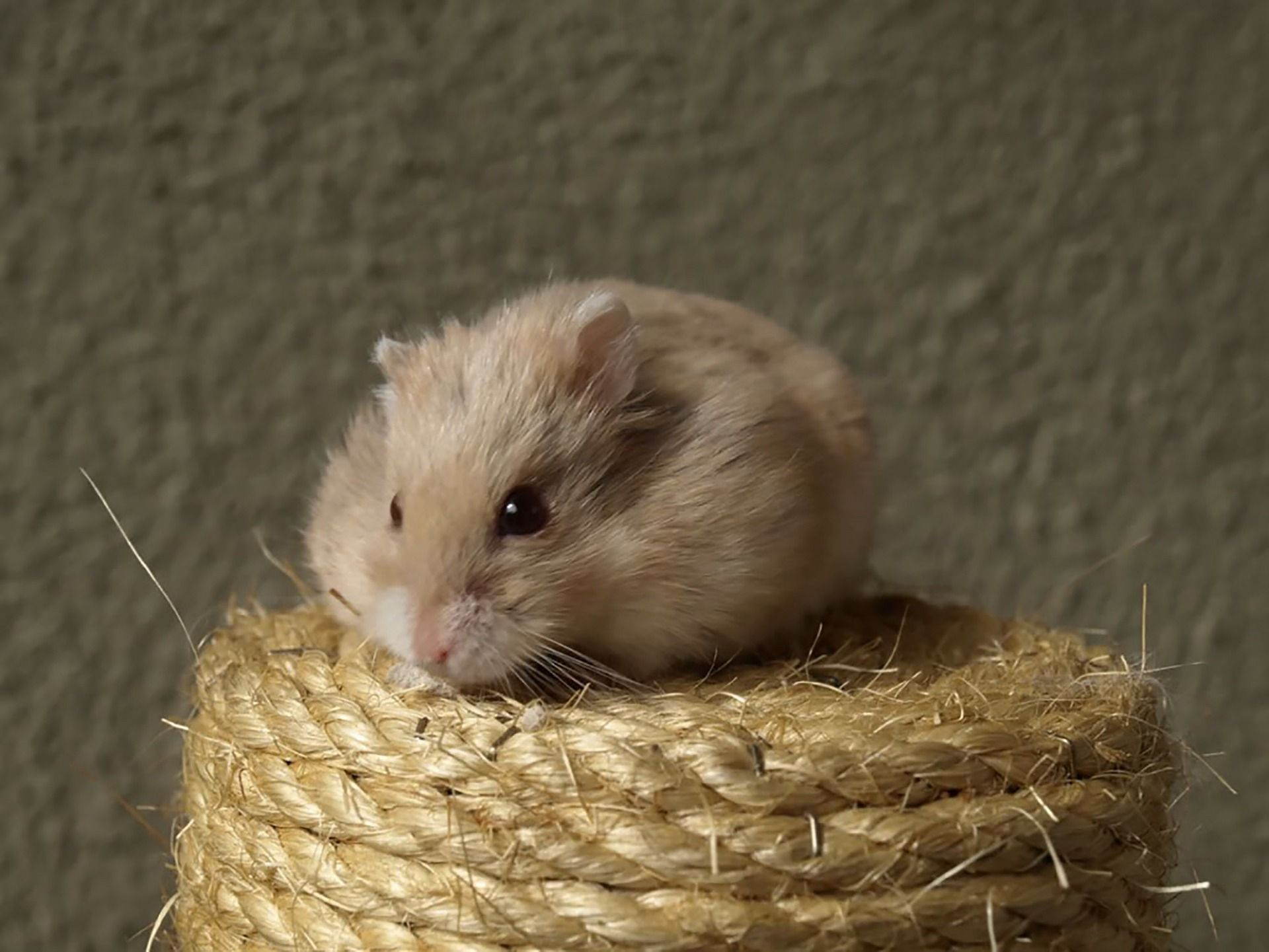 SIKANTISPETS Why do hamster need hamster wheels? Read