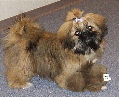 Pics Of Shih Tzu Mix Haircuts Daisy May The Shinese Pekingese