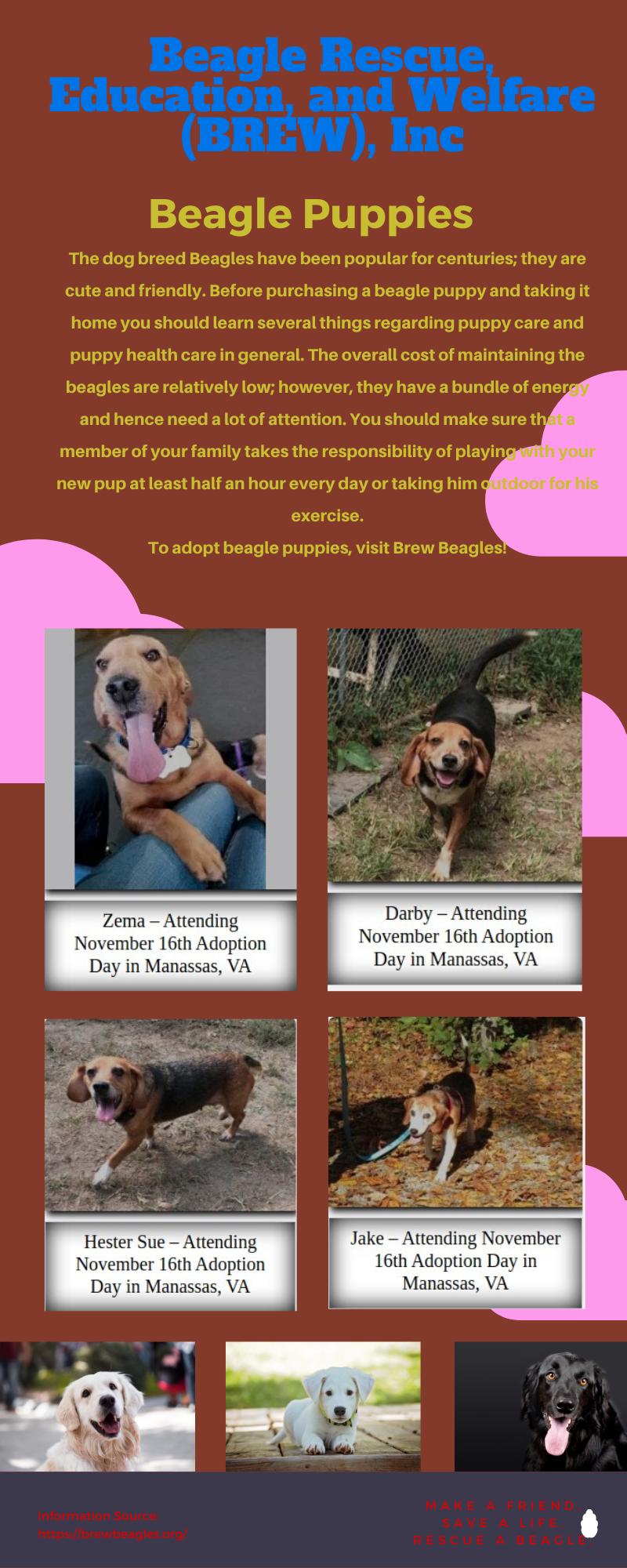 Beagles For Adoption Rescue Dogs For Adoption Beagle Puppy Adoptable Beagle