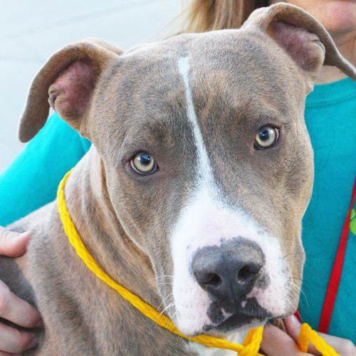 *DONUT-ID#A742387  Shelter staff named me DONUT.  I am a male, blue brndl Pit Bull Terrier.  The shelter staff think I am about 10 months ...