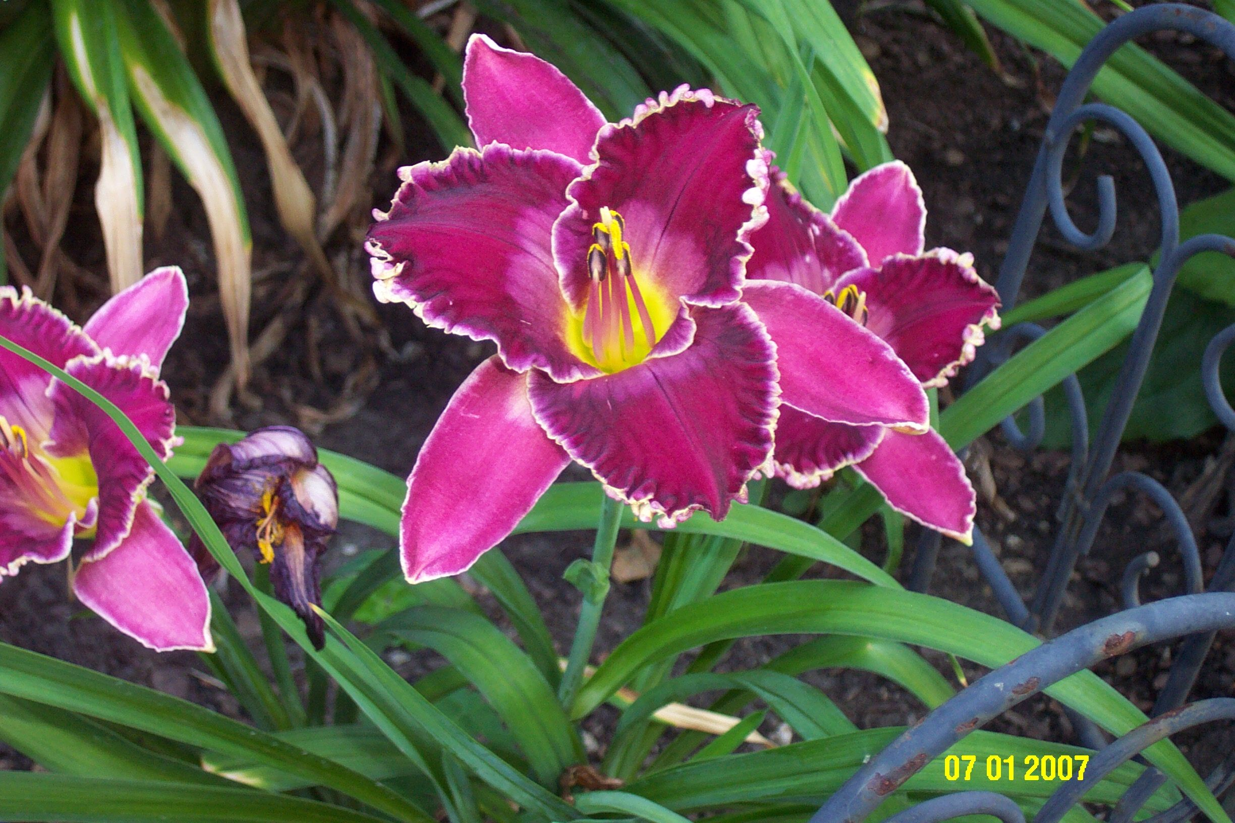 Daylily Viking Magic Or Mephistopheles Will Have To Check And