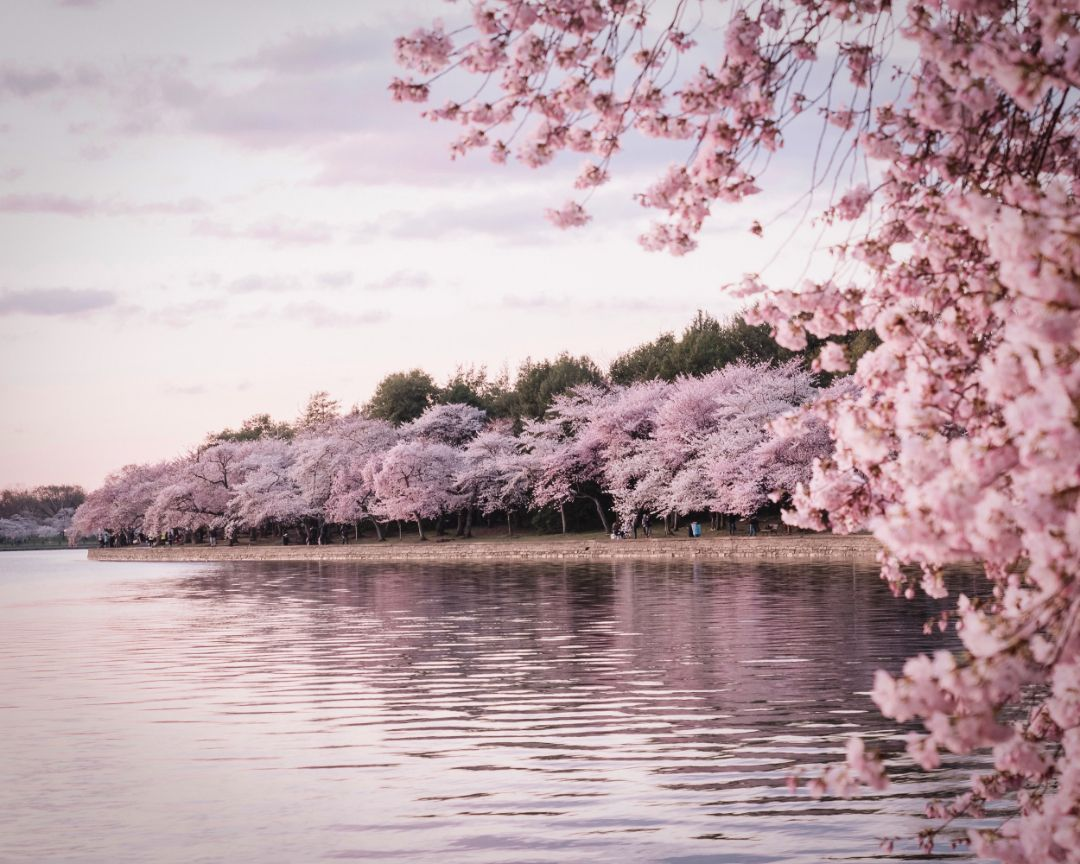 Did You Know In Japan Cherry Blossoms Are Called Sakura A Special Flower For The People And The Coun Blossom Trees Cherry Blossom Meaning Cherry Blossom Tree