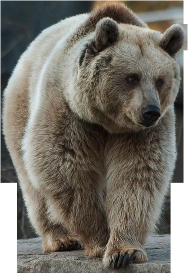 Brown Bear Brown Bear Photoshopped Animals Bear Images