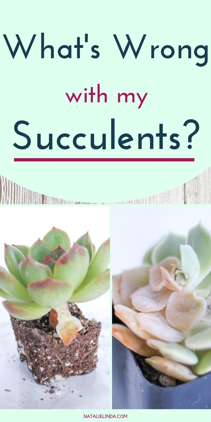 What S Wrong With My Succulent Learn To Diagnose And Resolve