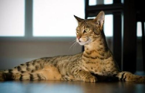 Top 10 Most Expensive Cat Breeds Ashera Cat Cat Breeds Hybrid Cat