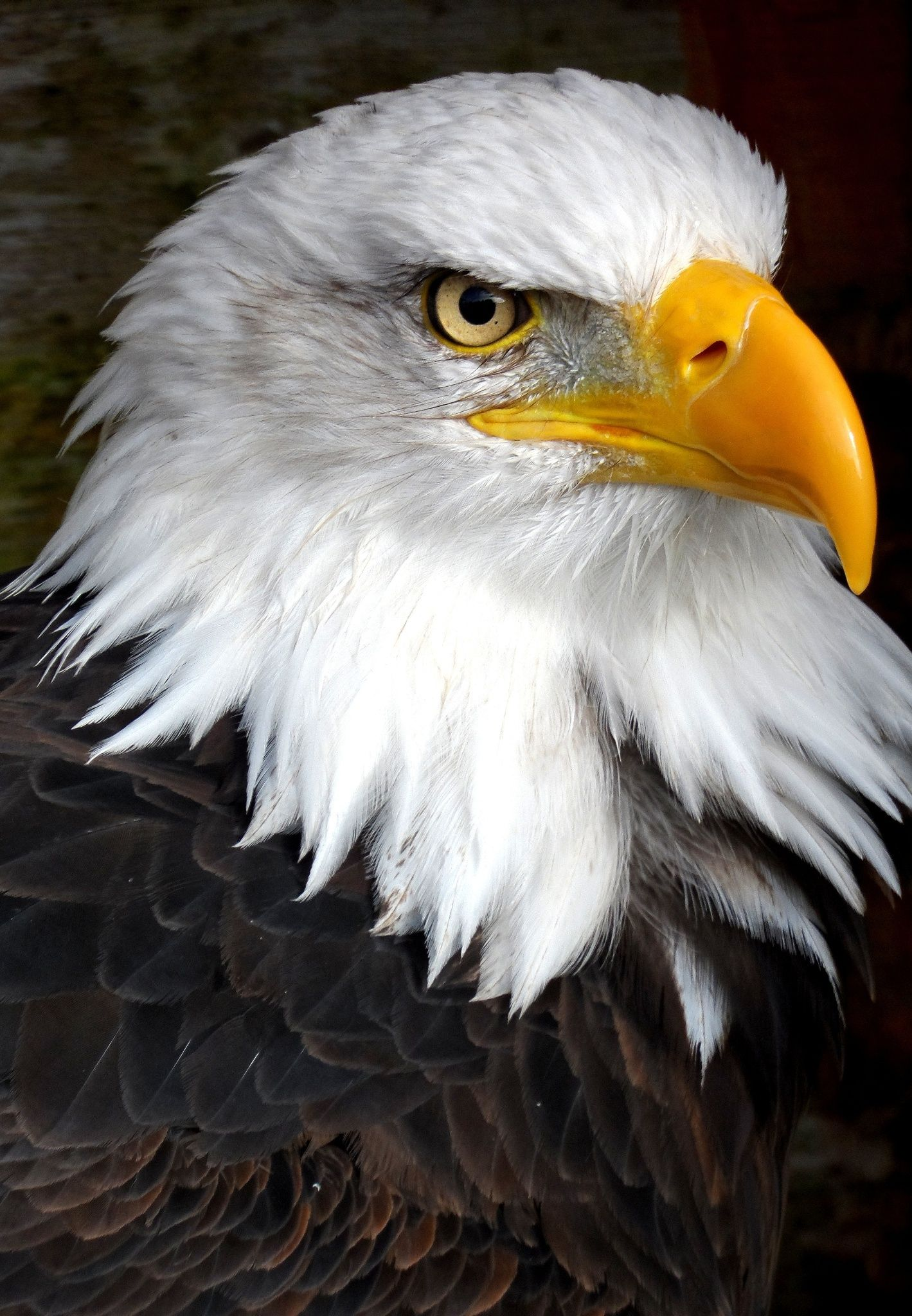 Águila Calva. Haliaeetus leucocephalus, origenario de América del ...