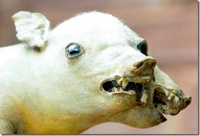 Animal Deformed Strange Surprising Deformed