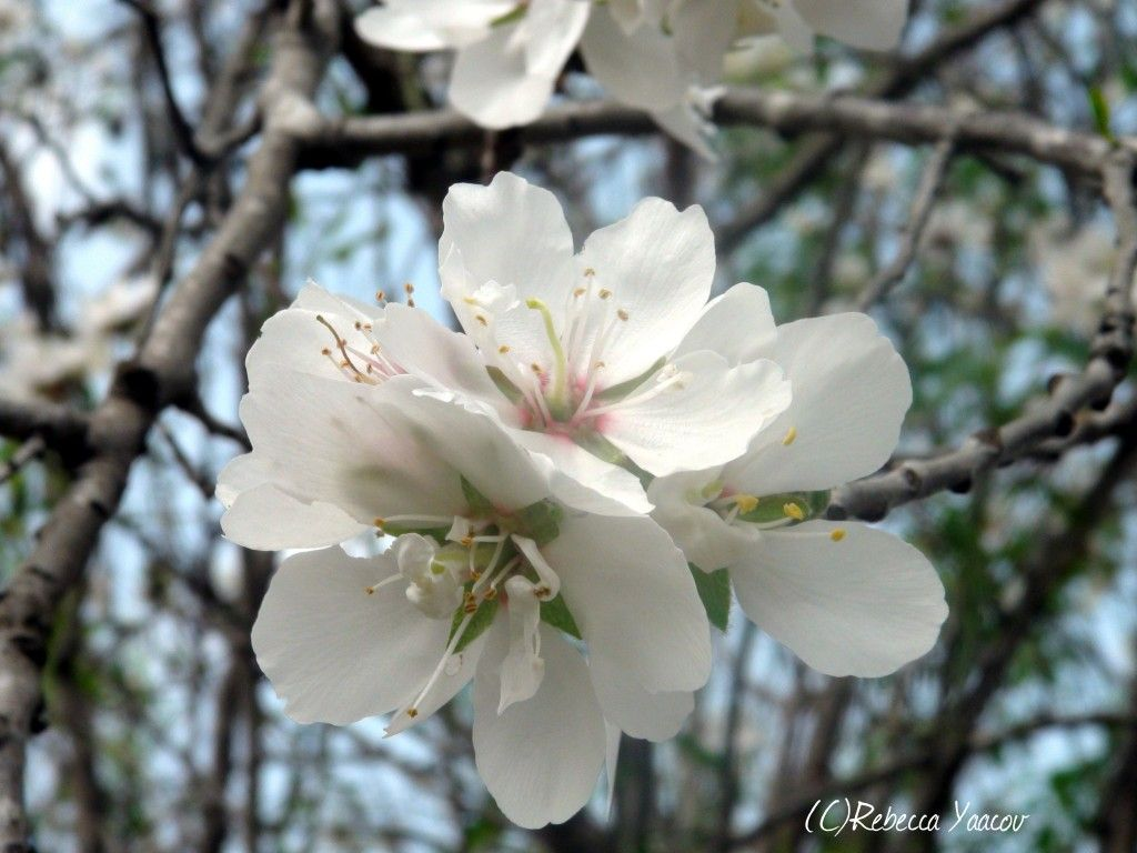 almond tree blooms white flowers pinterest flowers
