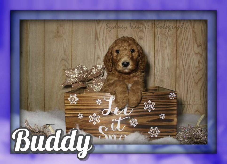 Buddy Male Akc Standard Poodle 700 Standard Poodle Poodle Puppies For Sale Akc