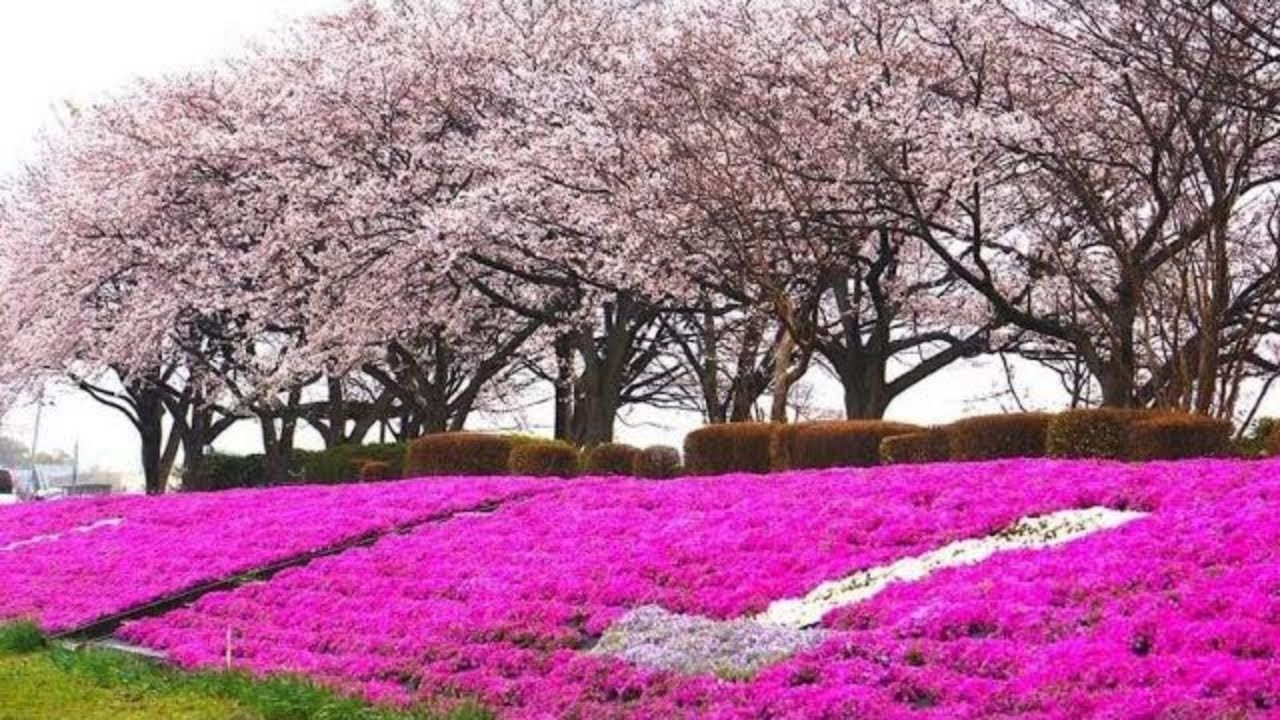 Sakura Japan The Cherry Blossom Season Is Coming Soon Travel Video 26tokyosaku Cherry Blossom Season Cherry Blossom Japan Japan Cherry Blossom Festival