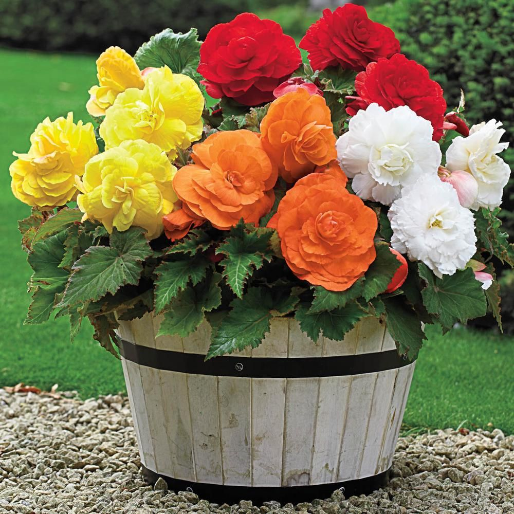 Breck S Multi Colored Giant Camelia Begonia Mixture Flowers Bulb 3 Pack 69174 The Home Depot Bulb Flowers Planting Bulbs Flower Pots