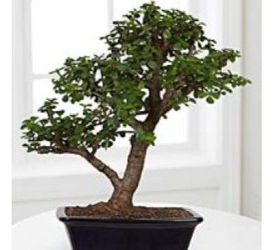 Jade Plant Bonsai 6 Years5000
